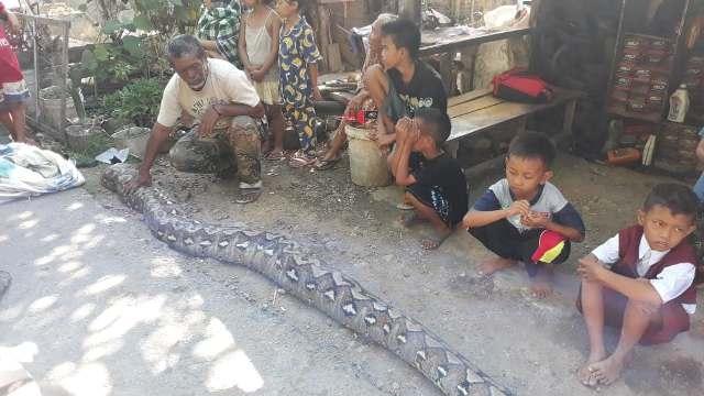Warga Kelurahan Sampoddo, Kecamatan Wara Selatan, Kota Palopo, geger karena di daerah itu ditemukan ular piton sepanjang 6 meter yang hendak menelan seekor anak kambing, Senin (27/8/2018)