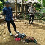 Kaget Kedatangan Polisi, Pelaku Judi Sabung Ayam di Palopo Tinggalkan 16 Taji