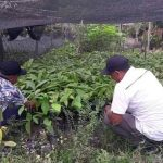 Lahan Kakao Tua Warga Luwu Timur Bakal Diremajakan
