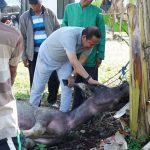 Bismillah, Dua Ekor Kerbau Untuk Acara Maccera Tasi' Disembelih di Rujab Bupati Luwu