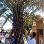 Ajaib, Ada Pohon Kurma Berbuah di Palopo