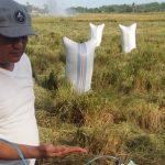 Bulog Beli Murah Beras Petani Luwu Raya, Wahyu Napeng : Daerah Lain Harganya Lebih Tinggi